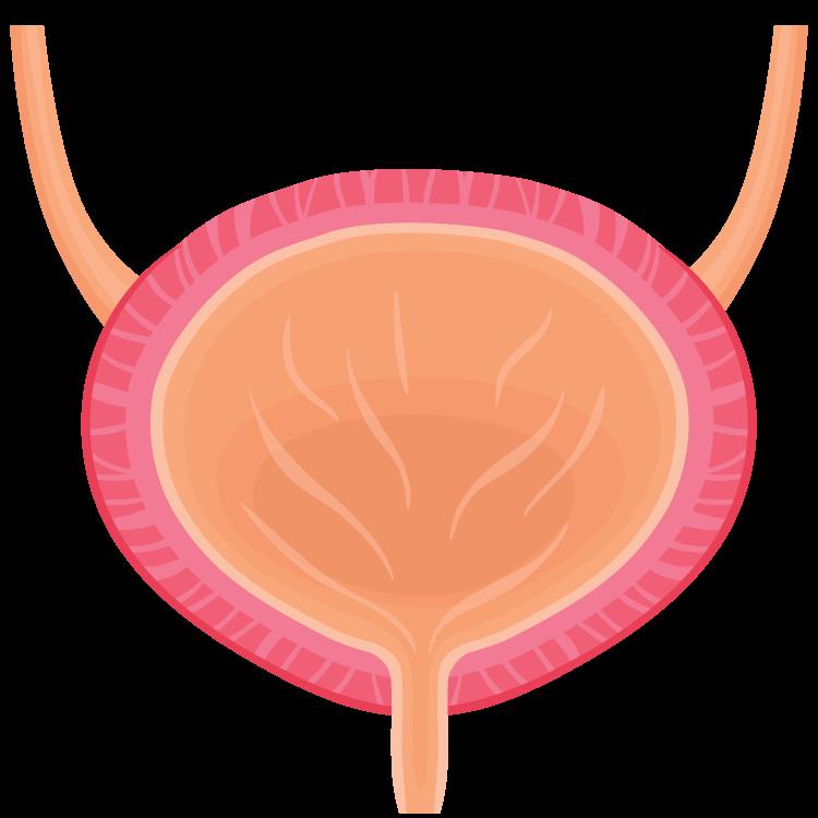 bladder แปลว่า กระเพาะปัสสาวะ