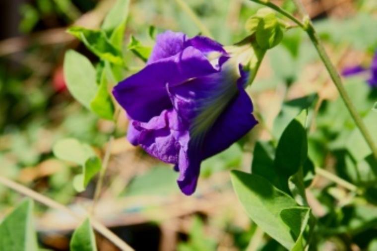 butterfly pea แปลว่า ดอกอัญชัน