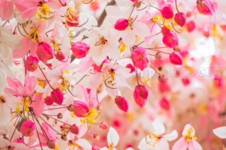 Cassia javanica แปลว่า ดอกชัยพฤกษ์
