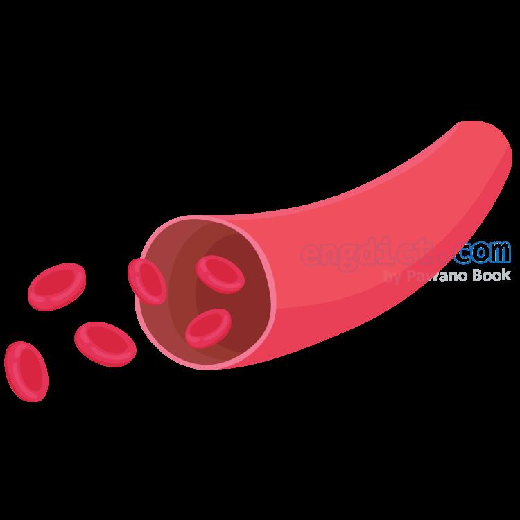 artery แปลว่า เส้นเลือดแดง