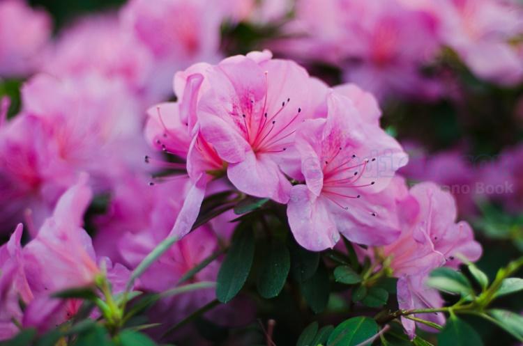 azalea แปลว่า ดอกกุหลาบพันปี