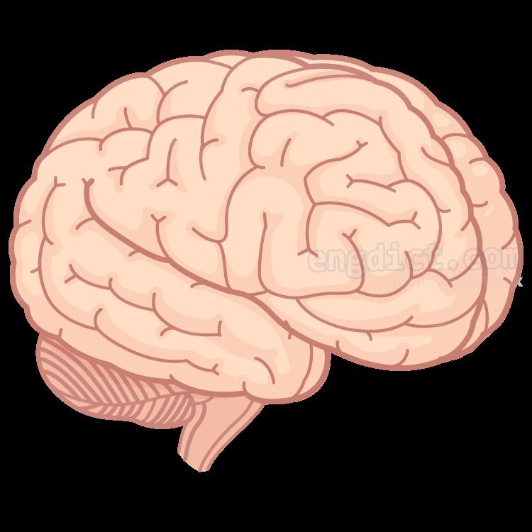 brain แปลว่า สมอง