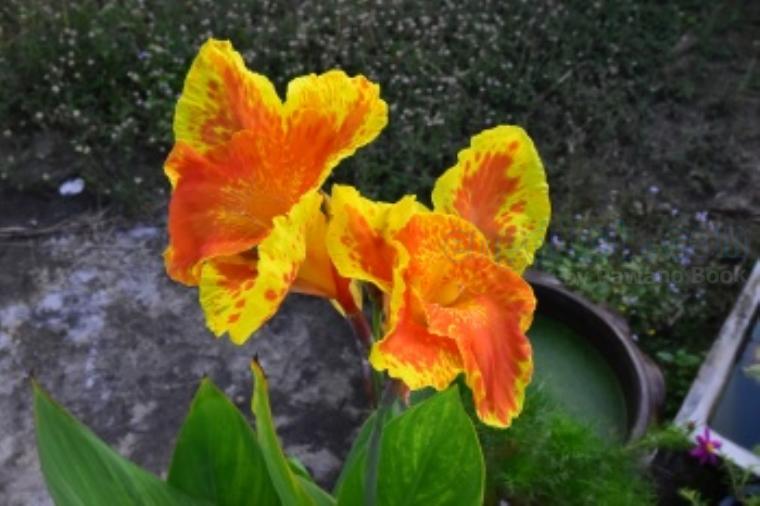 canna lily แปลว่า ดอกพุทธรักษา