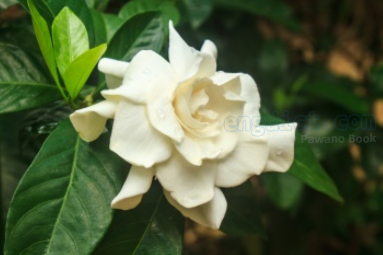 cape Jasmine แปลว่า ดอกพุดซ้อน