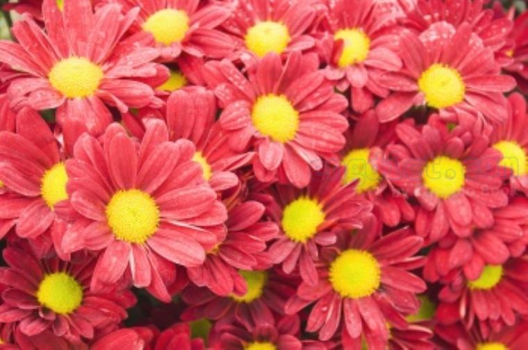 chrysanthemum แปลว่า ดอกเบญจมาศ