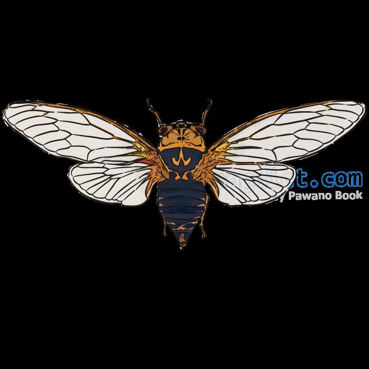 cicada แปลว่า จักจั่น