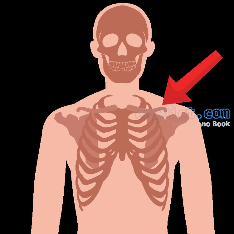 collarbone แปลว่า กระดูกไหปลาร้า