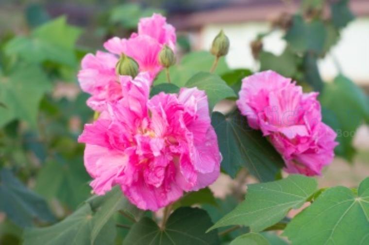 cotton rose แปลว่า ดอกพุดตาน