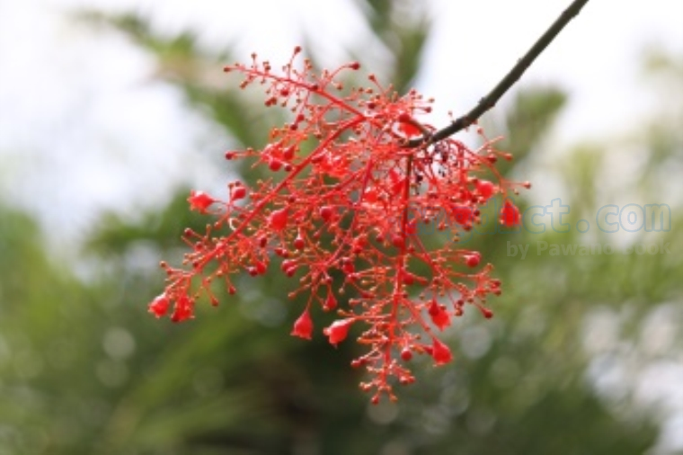 flame tree แปลว่า ดอกหางนกยูงฝรั่ง