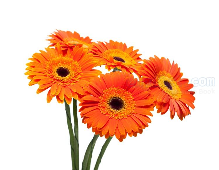 gerbera แปลว่า ดอกเยอบีร่า