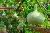 gourd แปลว่า พืชตระกูลฟัก,แฟง,น้ำเต้า