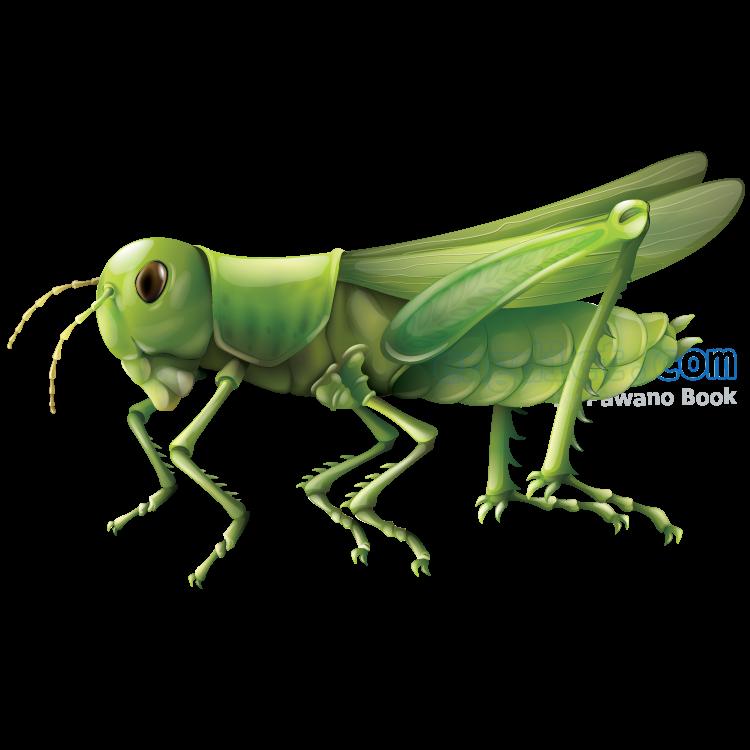 grasshopper แปลว่า ตั๊กแตน