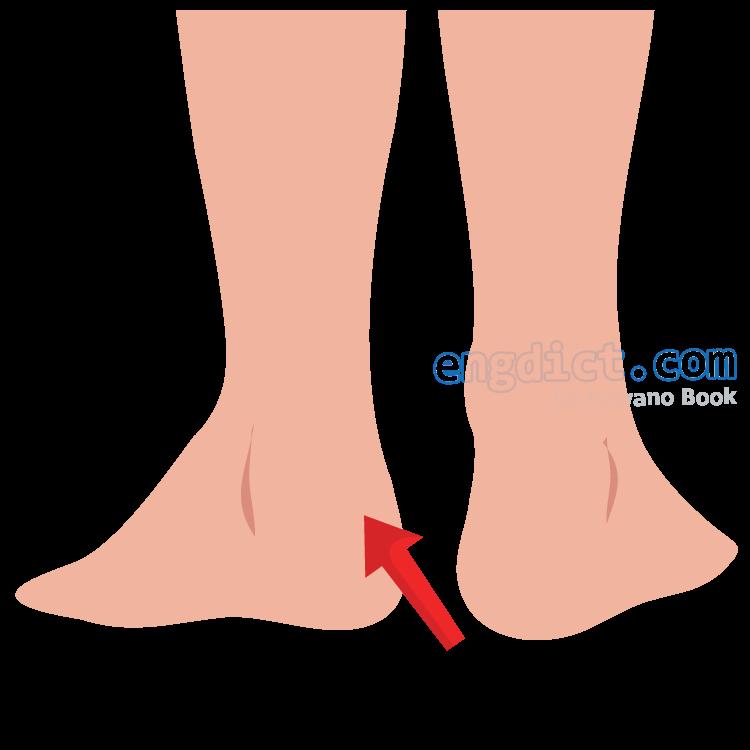 heel แปลว่า ส้นเท้า