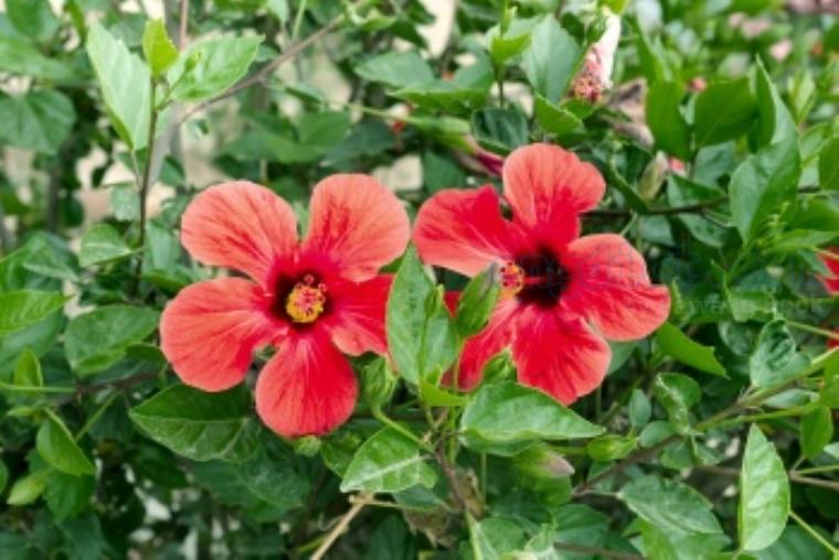 hibicus แปลว่า ดอกชบา