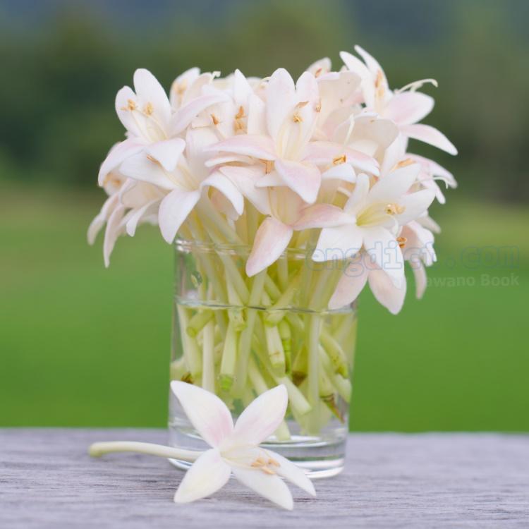 indian Cork แปลว่า ดอกกาสะลอง