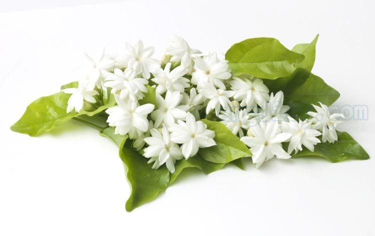 jasmine แปลว่า ดอกมะลิ