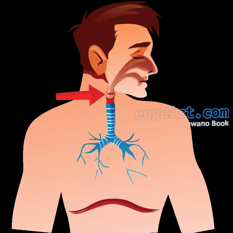 larynx แปลว่า กล่องเสียง