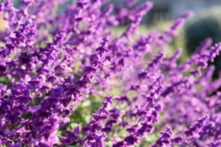 lavender แปลว่า ดอกลาเวนเดอร์