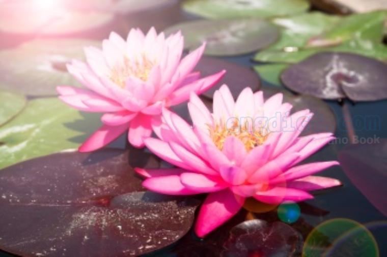 lotus แปลว่า ดอกบัว