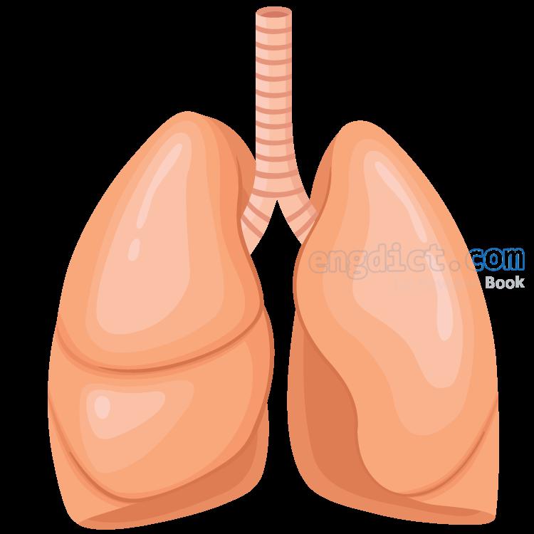 lung แปลว่า ปอด