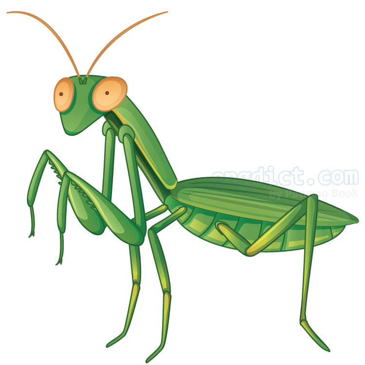 mantis แปลว่า ตั๊กแตนตำข้าว