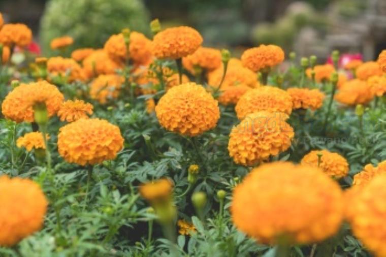 marigold แปลว่า ดอกดาวเรือง