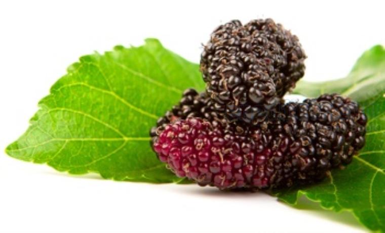 mulberry แปลว่า ผลมัลเบอร์รี