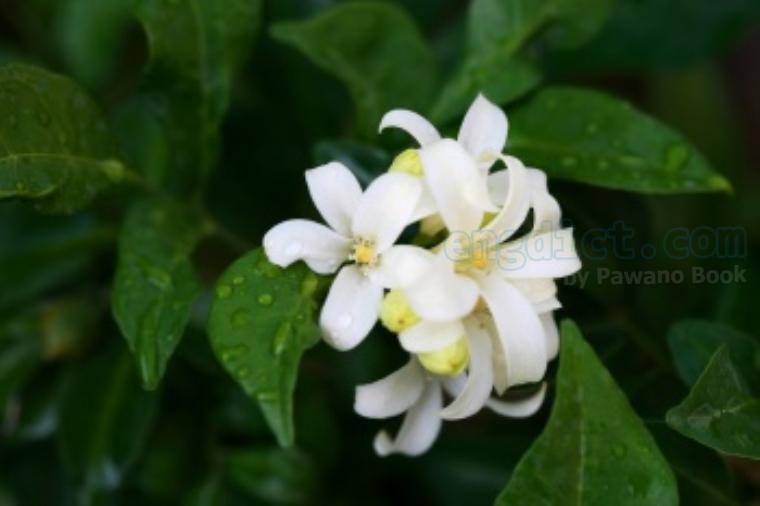 orange jasmine แปลว่า ดอกแก้ว