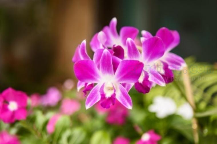orchid แปลว่า ดอกกล้วยไม้