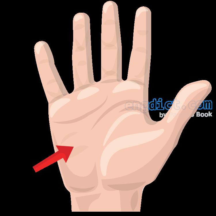 palm แปลว่า ฝ่ามือ