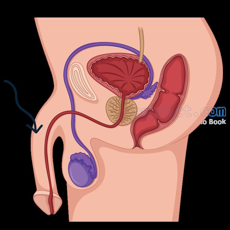 penis แปลว่า อวัยวะเพศชาย