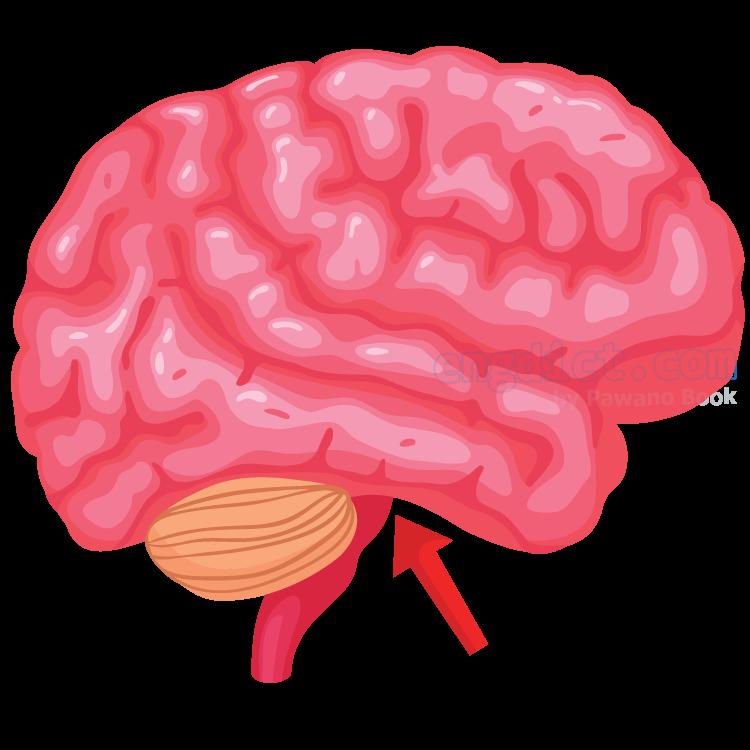 pituitary gland แปลว่า ต่อมใต้สมอง
