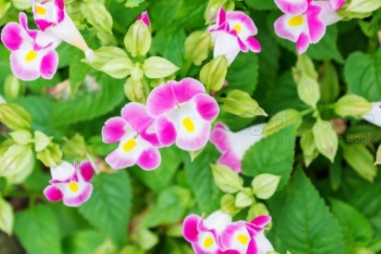 scrophulariaceae แปลว่า ดอกแววมยุรา