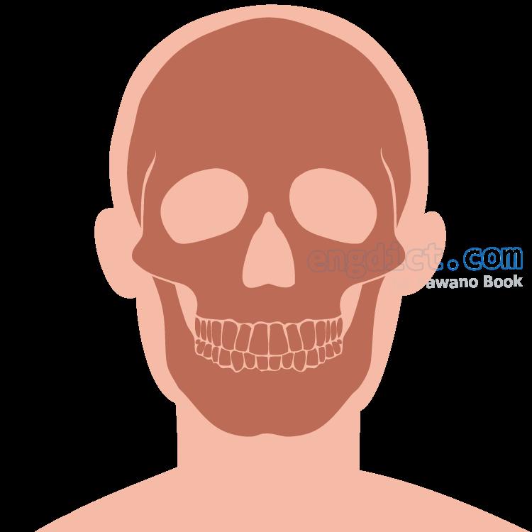 skull แปลว่า กะโหลกศีรษะ