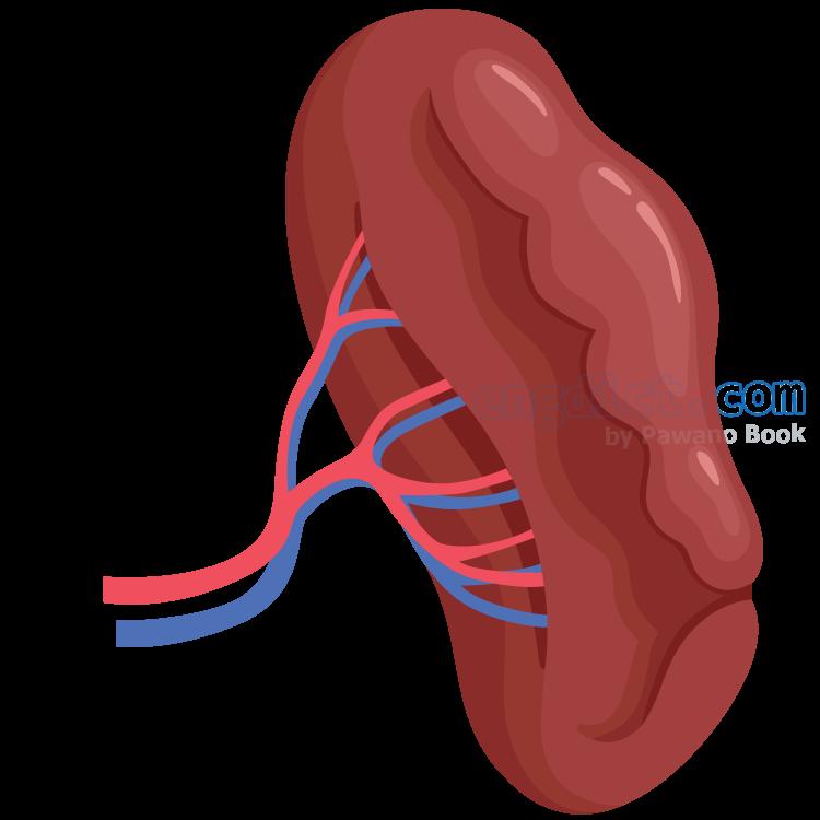 spleen แปลว่า ม้าม