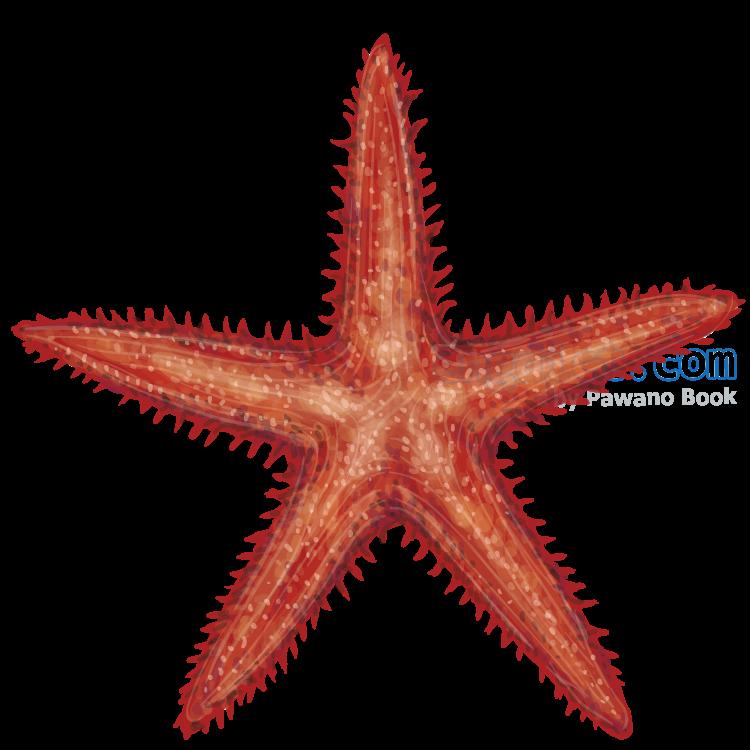 starfish แปลว่า ปลาดาว