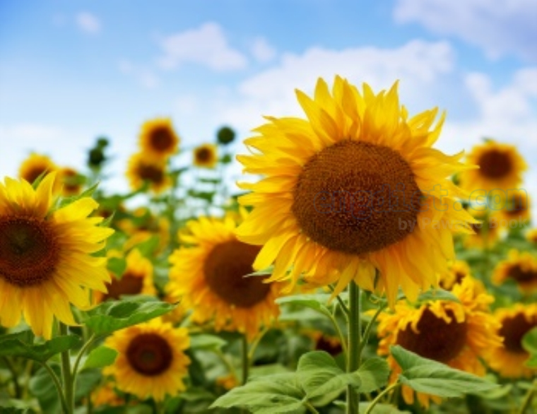 sunflower แปลว่า ดอกทานตะวัน