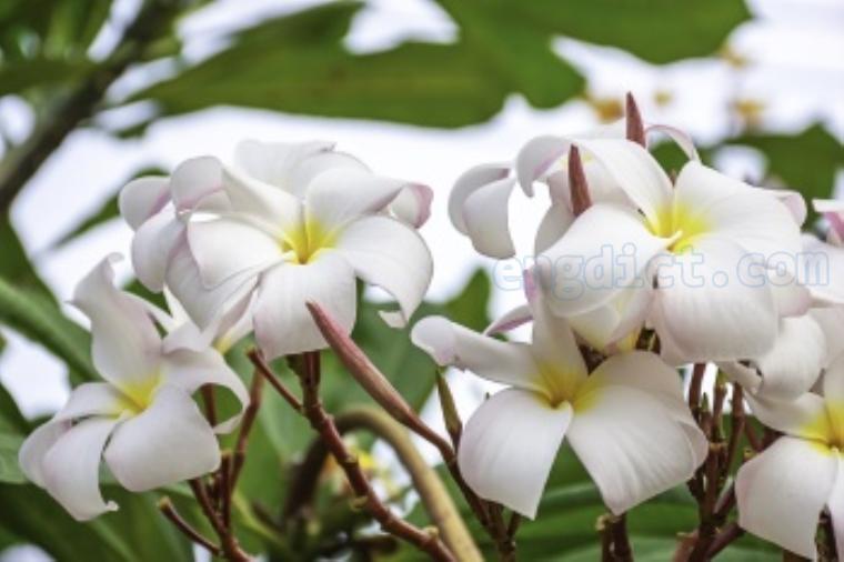 temple flower แปลว่า ดอกลั่นทม