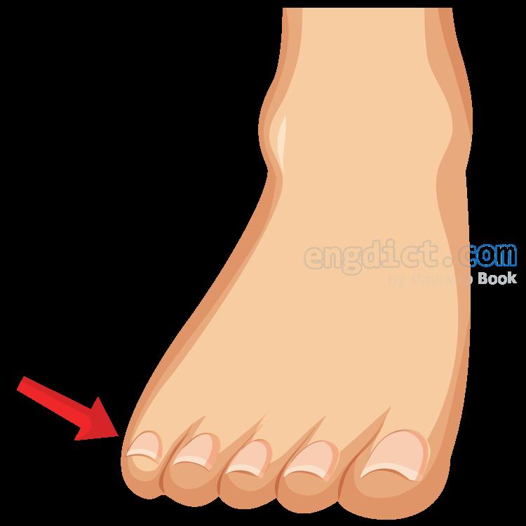 toe แปลว่า นิ้วเท้า