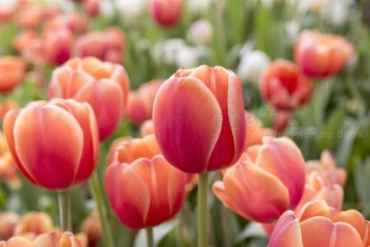tulip แปลว่า ดอกทิวลิป