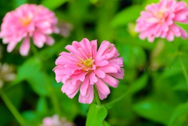 zinnia แปลว่า ดอกบานชื่น